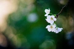 Hello there (moaan) Tags: life spring dof blossom bokeh utata cherryblossom sakura blossoming sprung 2013 inlife canoneos5dmarkiii ef70200mmf28lisiiusm