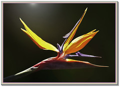 Strelitzia o (ave del paraso) (An Car) Tags: