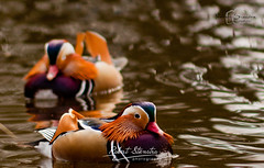 Mandarin ducks (Robert Stienstra Photography) Tags: park nature netherlands arnhem ducks mandarinducks sonsbeekpark birdsanimals arnhemgelderland