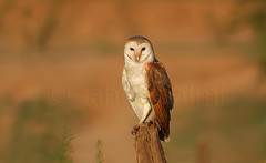 barn owl (zahoor-salmi) Tags: camera pakistan macro nature birds animals canon lens photo tv google flickr natural action wildlife watch bbc punjab wwf salmi walpapers chanals discovry beutty bhalwal zahoorsalmi thewonderfulworldofbirds blinkagain