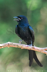 Birds of Sri Lanka , Species No 119 (Sara-D) Tags: black nature birds animals forest asia wildlife aves sl lanka srilanka ceylon lk srilankan wildanimals southasia mannar sarad drongo passeriformes blackdrongo dicrurusmacrocercus serendib dicruridae dicrurus asianwildlife macrocercus saranga birdsofsrilanka vankalai ramsarwetland birdsofsouthasia dealwis theimagesofsrilanka sarangadeva