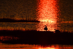 Roasted Geese (rickgetsemail) Tags: sunset bird nature water sunrise nikon delaware bombayhooknwr d3100