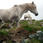 "Connemara Ponies <a style=""margin-left:10px; font-size:0.8em;"" href=""http://www.flickr.com/photos/89335711@N00/8597327177/"" target=""_blank"">@flickr</a>"