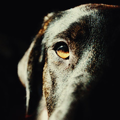 brbel (sommerpfuetze) Tags: portrait dog chien baby brown eye animal canon square grain babsi hund braun auge fell blick petrait thelook brbel tierisch spanierin nahportrait ldlnoir fellliebe seelenliebe fellgeschichten