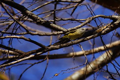 Yellow-rumped Thornbill in a Winter tree (Blue Mtns. bush girl) Tags: yellowrumped thornbill constable wines hunter valley nsw australia