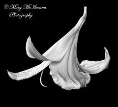 Picture of Lily (Mary McIlvenna Photography) Tags: flora hemerocallisvarsity floralart