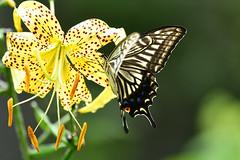 Lilium lancifolium with Swallowtail butterfly (myu-myu) Tags: nature insect butterfly swallowtail papilioxuthus lilium lily liliumlancifolium mygarden nikon d500        japan