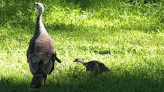 Turkeys (blazer8696) Tags: brookfield connecticut galliformes img9413 meleagris meleagrisgallopavo obtusehill phasianidae usa unitedstates wildturkey chick gallopavo hen turkey wild