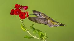Anna's Hummingbird (Eric Gofreed) Tags: arizona hummingbird mybackyard sedona villageofoakcreek yavapaicounty