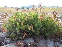 Oxytropis deflexa (Matt Lavin) Tags: grandtetonnationalpark tetonrange alpine subalpine oxytropisdeflexa fabaceae native perennial herb noddinglocoweed