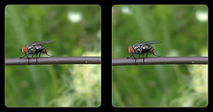 Flesh Fly on a Wire 3 - Parallel 3D (DarkOnus) Tags: pennsylvania buckscounty darkonus closeup macro huawei mate8 cell phone 3d stereogram stereography stereo insect flydayfriday fly day friday hfdf fdf wire sarcophagidae flesh parallel