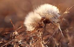 Gemhte Wiesen sind nicht so mein Ding, aber darauf liegengelassene Kopfkissen stimmen mich milde. (Manuela Salzinger) Tags: heuhaufen haycock heu hay sommer summer abend evening wiese meadow pusteblume blowball