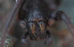 spider (jim w-y) Tags: spiders arachnid 8legs kent fangs