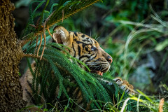 Daydreamin' (ToddLahman) Tags: daydreaming cathy joanne teddy sandiegozoosafaripark safaripark sumatrantiger tigers tiger tigertrail tigercub canon7dmkii canon canon100400 escondido