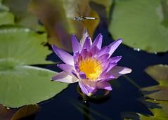 lilypond2a (c.denisebacher) Tags: dragonflies lilypond texas sanangelo