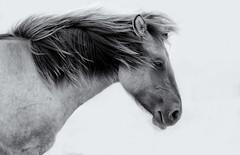 City nature: horses (H. Bos) Tags: nijmegen ooijpolder natuur nature waal wildhorses wildepaarden horse paard horses paarden dieren animals animal outdoor zwartwit blackandwhite
