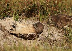 """Oops, What Now?"" (tkfranzen) Tags: burrowingowls owls florida spring spring2016 tnclivenature animalplanet naturephotography wildlifephotography birdphotography athenecunicularia"