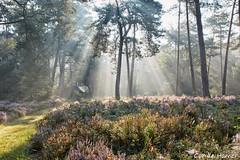 Tree of light (Cor de Hamer (www.cordehamer.nl)) Tags: sunrays sunray sunbeams tree trees forest woods heather heath heathland sun light park loo apeldoorn veluwe gelderland nl