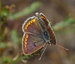 Common blue (female) (stanzebla - work, eat, sleep) Tags: hauhechelbläuling polyommatusicarus commonblue azurécommun argusbleu