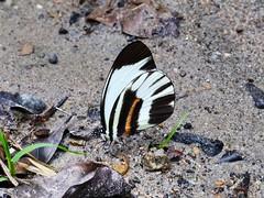 Perrhybris lorena (Pieridae: Pierinae: Pierini) (yakovlev.alexey) Tags: ecuador misahualli pieridae