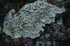 lichen on granite rock (heartinhawaii) Tags: lichen lichenonrock colorado rockymountains corwinapark spring nature wildlife nikond3300