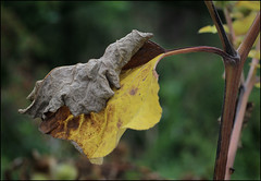 The grip (alanhitchcock49) Tags: upton warren nature reserve 4 september 2016 worcestershire wildlife trust autumn leaves the grip of