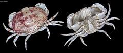 Hepatus pudibundus (Herbst, 1785) (GaboUruguay) Tags: hepatus pudibundus calappaangustata cancerprinceps cancerpudibundus hepatuscalappoides hepatusfasciatus hepatustuberculatus boxcrab shamefacedcrab crab cangrejo caranguejo carapace chelae claw caparazon pinza pata specimen ejemplar animalia arthropoda crustacea malacostraca decapoda brachyura eubracgura heterotremata aethroidea aethridae rocha fauna uruguay animal