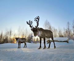 486505031 (hollyanniekatebennett) Tags: nordiccountries tourism swedishlapland arctic coldtemperature nature sweden scandinavia reindeer winter snow napapiiri polarkreis18 cerclepolaire