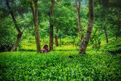 Tea garden (Arifin Billah Photography) Tags: sylhet arifin arifinbillah travel landscape
