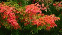 Color Splash (09 23 2016) (PhotoDocGVSU) Tags: fall autumn fallcolor autumn2016 leaves maple westmichigan canon5d3 sigma50500os bigma jenisonmi