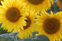 """Souvenir de plein t (Brigitte .. . """"Tatie Clic"""") Tags: 2010073110 juillet t fleur jaune fleurjaune ptales contrejour pistil campagne flore tarnetgaronne francesudouest tournesol sansretouche insecte macro"""