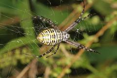 Guaranteed Success (Argiope trifasciata) (OrlandParkBirdieGirl) Tags: arachnid orb weaver spider banded arigope trifasciata web palos heights illinois usa lake katherine nature preserve botanic gardens