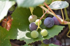 Grapes (marensr) Tags: grapes autumn leaves fall green fruit nature purple