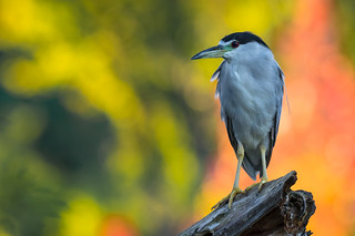 Fall Colours - Backlit Black-crowned Night-Heron - Nycticorax nycticorax - Bihoreau gris - New Camera Canon EOS 7D Mark II