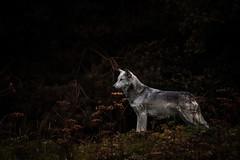 Motomo (ToriAndrewsPhotography) Tags: wolf north western motomo uk conservation trust beenham photography andrews tori