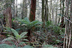 Beech forest walk (Tim J Keegan) Tags: fern moss