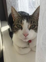 Jess (darrenboyj) Tags: face indoor tabby cute pet windowsill cat