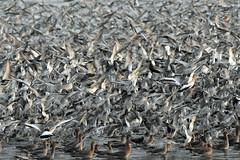 lot of knot (dickie44) Tags: knot waders avian snettisham thewash northnorfolk rspb hightide birds