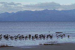 Torea - oystercatchers - Farewell Spit, South Island, New Zealand (Steve Attwood) Tags: auldwoodphotography newzealand canon oystercatcher farewellspit flock shorebirds wadingbirds variableoystercatcher southislandpiedoystercatcher landscape goldenbay southisland bird nature wildlife