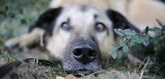 Shorty... (lichtflow.de) Tags: canon drk ef35mmf2usm eos5dmarkiii festbrennweite rettungshund hund dog rescuedog pet haustier nase schnautze