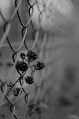 blackberry escape (Eric Spies) Tags: hek zaun fence clture recinto valla braam brombeere blackberry gaas drahtzaun zarzamora mora mre wire fil filo cerca alambre escape ontsnapping escapar fuga chapper flucht nikon d7100 dof dx 18 35mm afs nikkor 18g schrfentiefe tiefenschrfe scherptediepte focus mono monochrom monochrome sw bw schwarzweiss blackwhite zwartwit