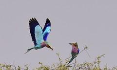 Lilac-breasted Roller (Coracias caudatus) (Ian N. White) Tags: lilacbreastedroller coraciascaudatus khutse botswana