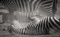 Dust and Stripes (Sue MacCallum-Stewart) Tags: kenya maasaimara zebra africa nature wildlife