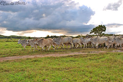 Cattles (Bella Abelita) Tags: ranch cattle philippines capital masbate