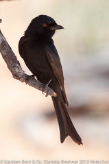 "Forktailed Drongo • <a style=""font-size:0.8em;"" href=""http://www.flickr.com/photos/56545707@N05/8364299009/"" target=""_blank"">View on Flickr</a>"