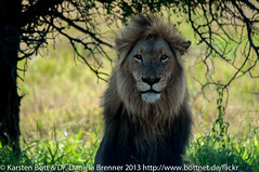 "Krueger Lion • <a style=""font-size:0.8em;"" href=""http://www.flickr.com/photos/56545707@N05/8365042606/"" target=""_blank"">View on Flickr</a>"
