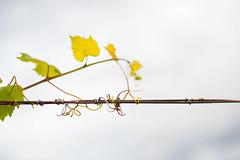 Tendrils (sengsta) Tags: vineyard vines meetup winery taylors swanvalley snaphappy
