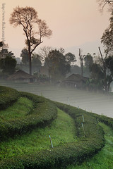 Tea Plantation & Fog (1) (baddoguy) Tags: morning travel mist tourism misty fog landscape thailand tea terrace plantation northern chiangrai maefahluang maesalong