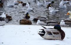 Silence of the snow (Aienhime) Tags: winter snow bird duck sleep