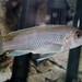 Metriaclima chrysomallos Nametumbwe